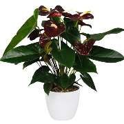 Anthurium Aramon