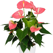 Anthurium Colorado