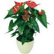 Anthurium Dakota