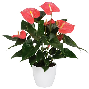 Anthurium Maine