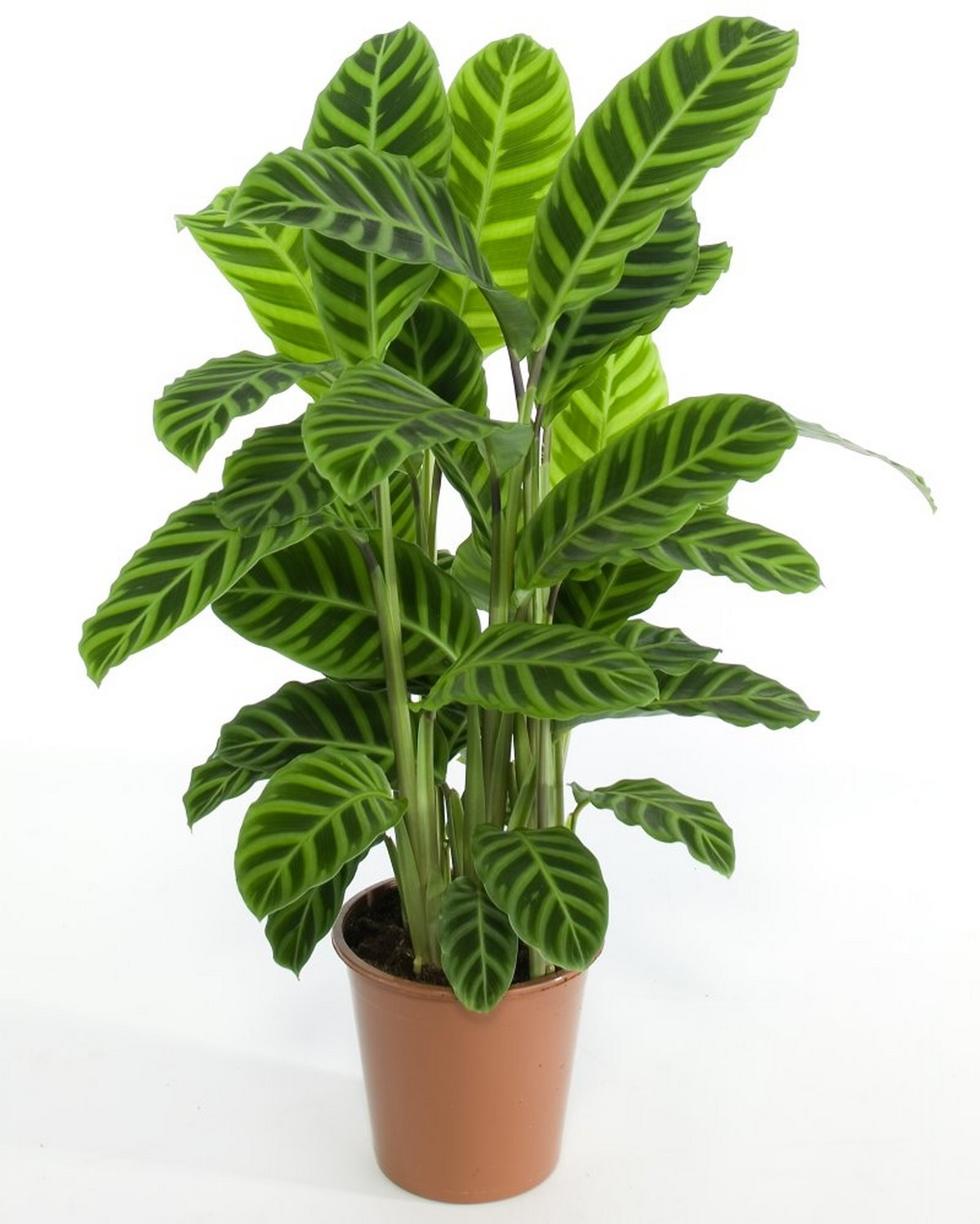 gellerts the joy of plants calathea