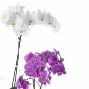 Phalaenopsis White & Purple 12cm