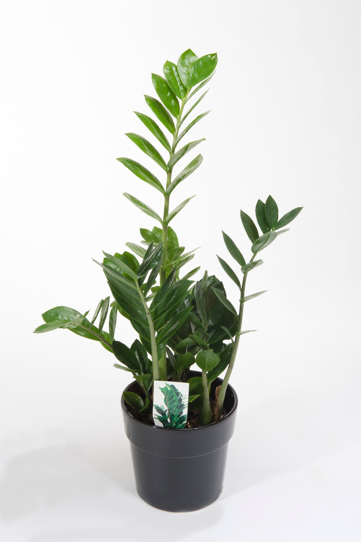 Gellerts the joy of plants air so pure for Plante zamioculcas