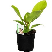 Philodendron Imperial Golden